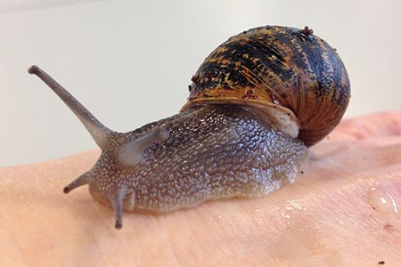 Snail mucus: antimicrobial properties found in common species of mollusc